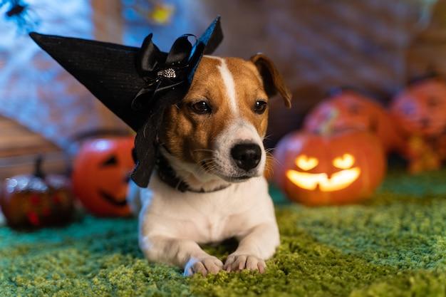 해피 할로윈. 개 애완 동물 잭 러셀 테리어 의상과 호박 연기 랜턴의 배경에 할로윈 무서운 해골