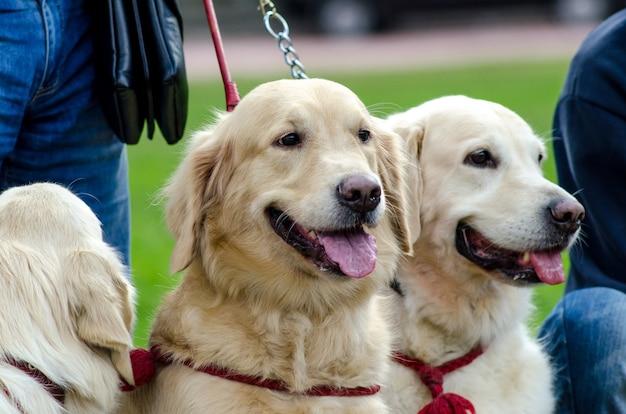 散歩に出かける幸せで健康な犬種のゴールデンレトリーバー。秋の緑の芝生の屋外で、夏の犬のゴールデンレトリーバーが主人の隣に座っています。