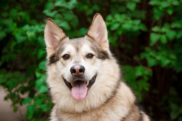 Happy husky portrait on green leaves