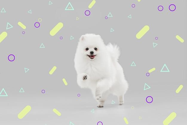 Счастлив в движении. собачка шпиц. милая игривая белая собачка или домашнее животное играет на ярком, современном иллюстрированном фоне. понятие движения, действия, движения, любви домашних животных. выглядит счастливым, довольным, забавным.