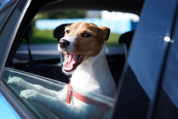 Happy jack russell terrier dog looking out of car window. trip with a dog