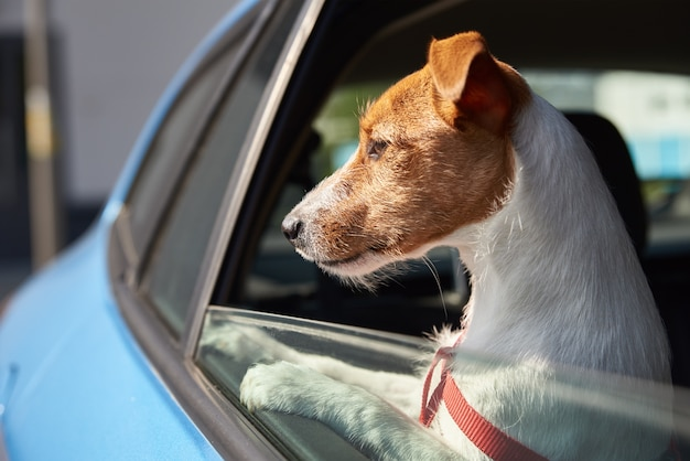 Happy jack russell terrier dog looking out of car window