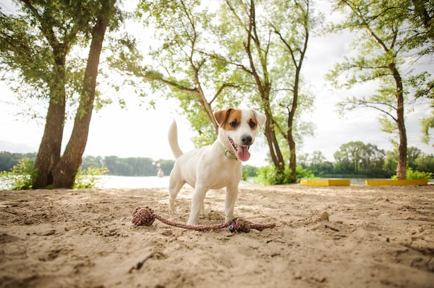 Happy jack russell terrier puppy playing with a rope on the beach