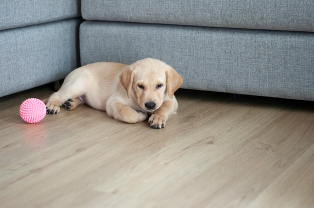 Happy labrador retriever sitting in living room.