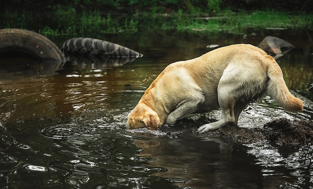 幸せなラブラドールレトリバーは、緑の森の穏やかな川の水に頭を突っ込んだ