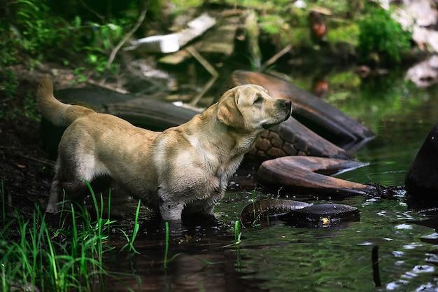 緑の森の穏やかな川の水の中の芝生の海岸の近くを歩く幸せなラブラドールレトリバー