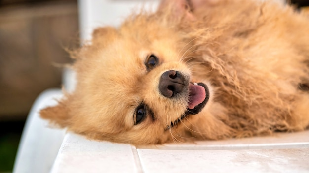 Happy lying pomeranian with wet yellow fur and opened mouth