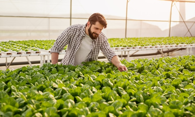 Happy male farmer in checkered shirt checking quality of green lettuce plants growing in hydroponic greenhouse