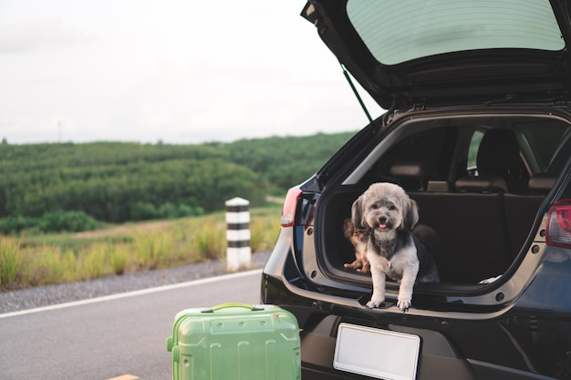 Happy mixed breed and chihuahua dogs sitting in open trunk car.