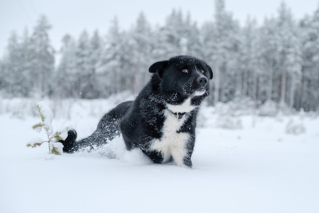 Happy mixed breed dog running outdoors in winter