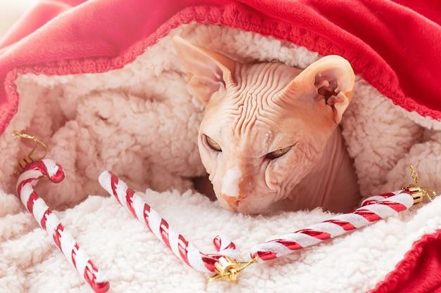 С новым годом и рождеством. кот сфинкс в красно-белом новогоднем пледе с игрушкой.