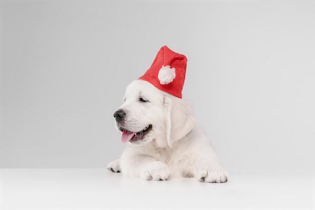 明けましておめでとうございます。イングリッシュクリームゴールデンレトリバー。かわいい遊び心のある犬やペットは白い壁にかわいく見えます。動き、行動、動き、犬やペットの愛の概念。サンタさんの帽子をかぶっています