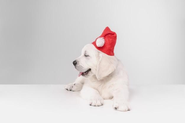 새해 복 많이 받으세요. 영어 크림 골든 리트리버. 귀여운 장난기있는 강아지 또는 애완 동물이 흰 벽에 귀여워 보입니다. 모션, 액션, 움직임, 개 및 애완 동물의 개념을 사랑합니다. 산타 모자를 쓰고