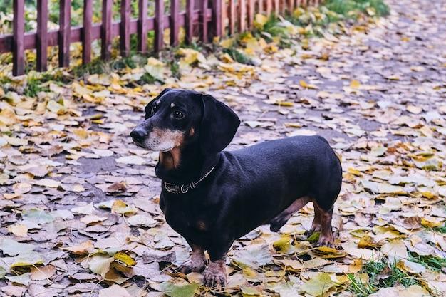 Счастливый старый портрет черно-коричневой таксы. порода такса, колбасная собака, такса на прогулке в осенние желтые сушеные листья.