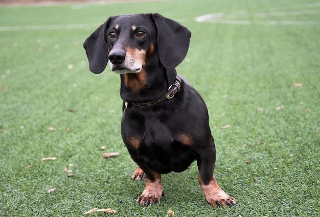 Happy old black-brown dachshund portrait. dachshund breed, sausage dog, dachshund on a walk. dog at summer background.