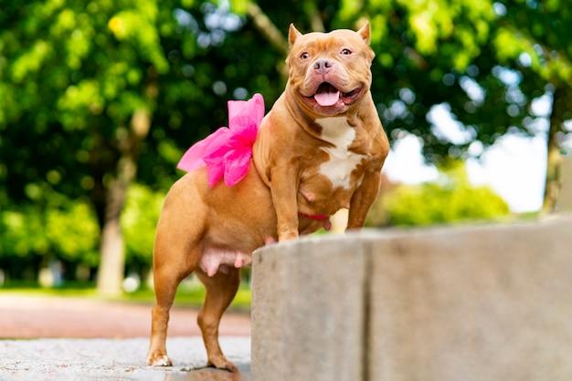 幸せなペットアメリカンブリー。リボン、腹の弓を持つ妊娠中の犬の肖像画。