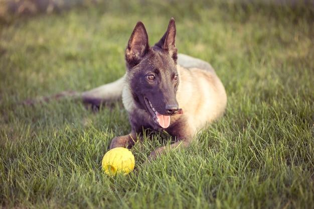 Felici cani da compagnia che giocano su erba