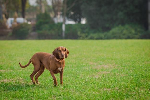 행복 한 애완견 공원에서 잔디에 재생.