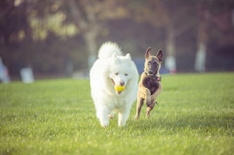 Happy pet dogs playing on Grass
