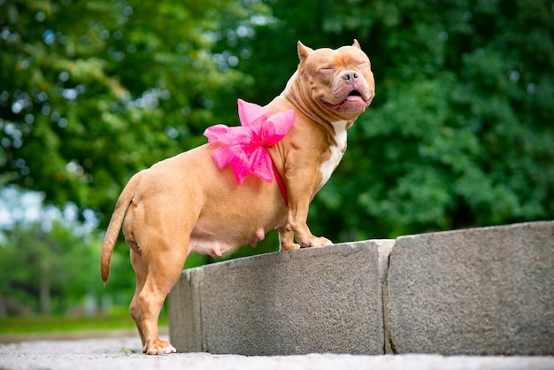 Happy pet, squint american bully. portrait of a pregnant, screw up ones eyes dog with a ribbon, a bow on the belly.