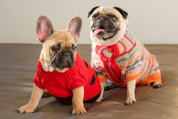 Happy pets pug dog and french bulldog dressed in knitted sweaters at home waiting for their owner. funny dogs ready to go out. dog clothes, fashion