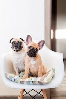 Happy pets pug dog and french bulldog sitting on a chair looking at the camera. dogs are waiting for food in the kitchen