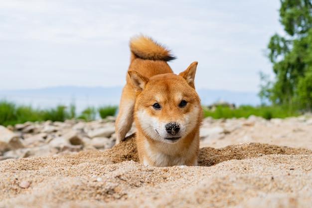 幸せな赤い柴犬が砂の上で遊ぶ。赤毛の日本の犬の笑顔の肖像画。