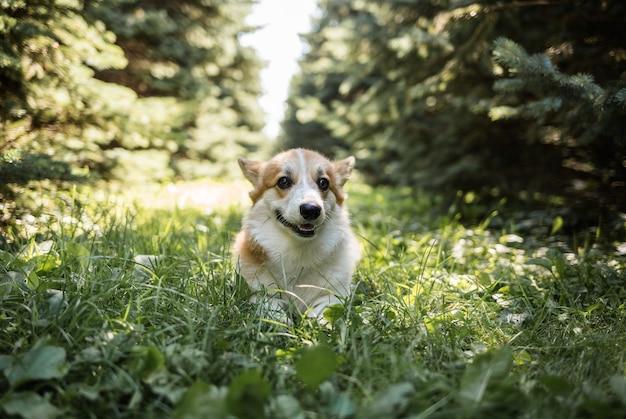幸せな王室のコーギー犬が針葉樹の間で森を駆け抜けます