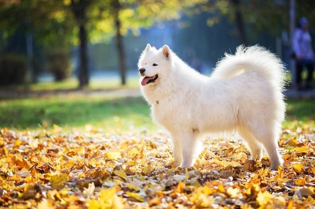 Birght 화창한 날에 가을 공원에서 행복 사모예드 개
