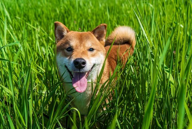 幸せな柴犬。赤毛の日本の犬の笑顔の肖像画。
