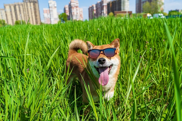 サングラスをかけた幸せな柴犬。赤毛の日本の犬の笑顔の肖像画。