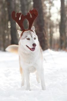 Happy siberian husky wearing reindeer antlers outdoors on winter day