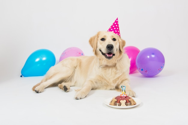 Happy smiling golden retriever puppy dog with birthday hat and meat cake.