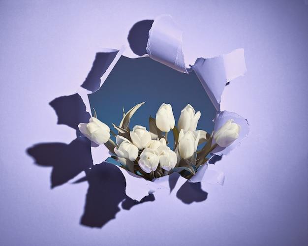 幸せな春休み!破れたすみれ色または薄紫色の紙の穴から見える白いチューリップの束。トレンディな春の誕生日、イースター、母の日、誕生日カジュアルな挨拶背景コンセプト。