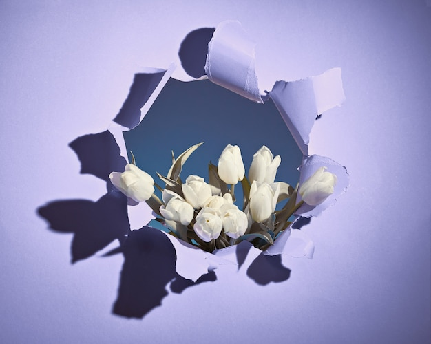 Happy spring holidays! bunch of white tulips shown through torn violet or light purple paper hole. trendy springtime birthday, easter, mothers day, birthday casual greeting background concept.