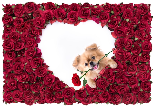 Happy valentines day heart shape white in red rose beautiful background and cute puppies pomeranian mixed breed pekingese dog.