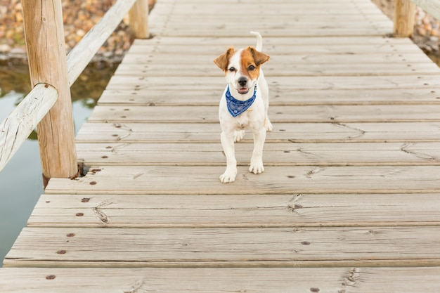 Happy young dog on a wood bridge looking at the camera. outdoors. pets and lifestyle