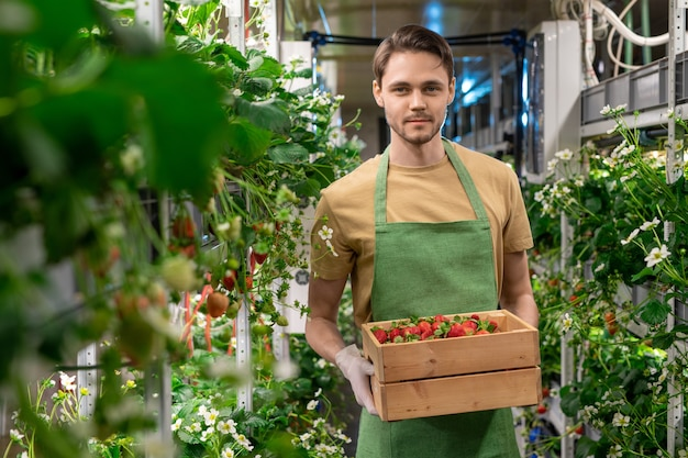 Happy young gloved male worker of vertical farm or hothouse holding wooden box with ripe strawberries while standing between shelves