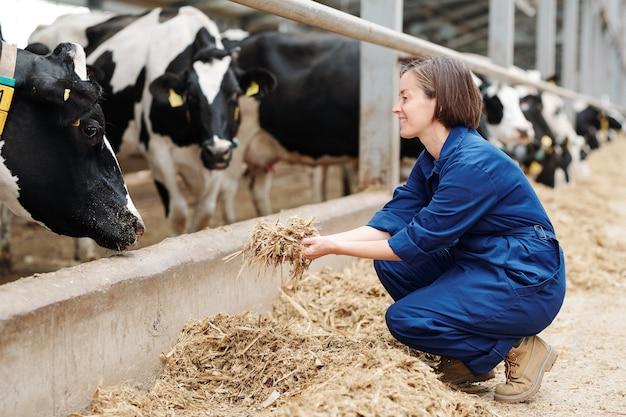 Счастливый молодой работник животноводческой фермы сидит на корточках, держа кучу свежего сена перед дойными коровами во время работы