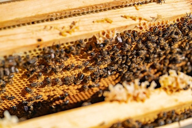 Hard-working bees bring honey to honeycomb in a warm weather in the summer