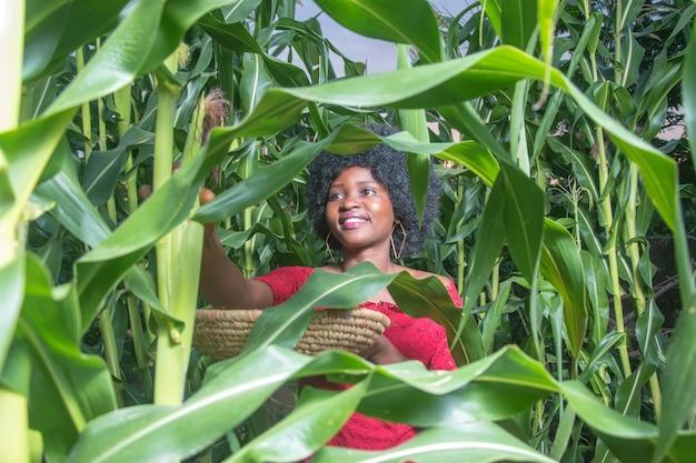 Трудолюбивая африканская дама в красном платье и афро-прическе собирает кукурузу на ферме
