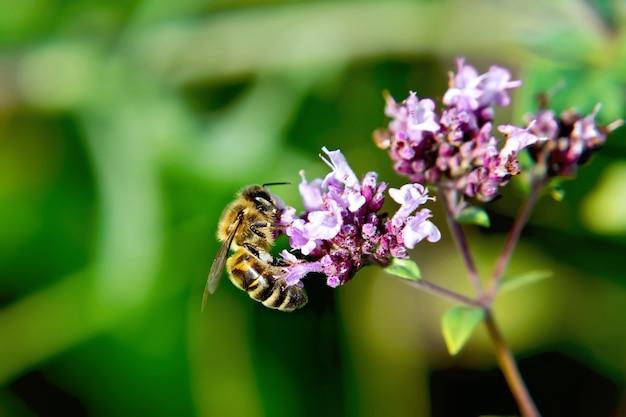 열심히 일하는 꿀벌은 녹색 오레가노 잎에 대해 분홍색 꽃에서 꿀을 수집합니다.