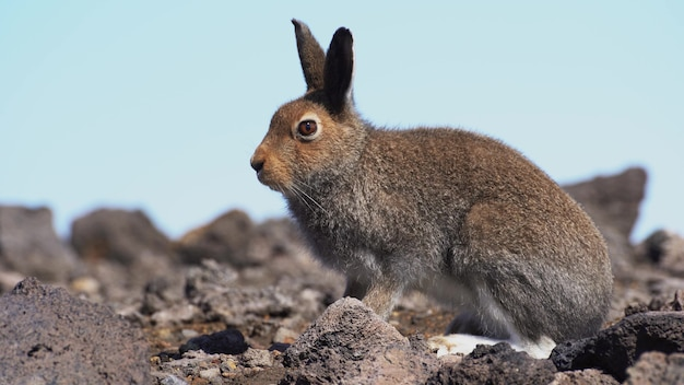 Заяц в дикой природе сидит на камнях