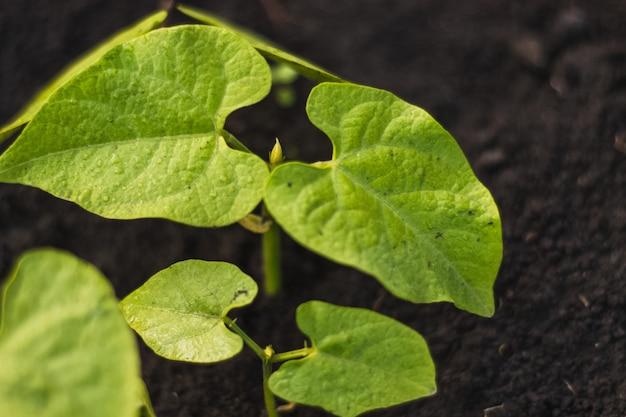 검은 토양에 이슬 비가 내린 후 껍질 식물 콩 녹색 잎. 봄 시간에 가정 재배 야채.