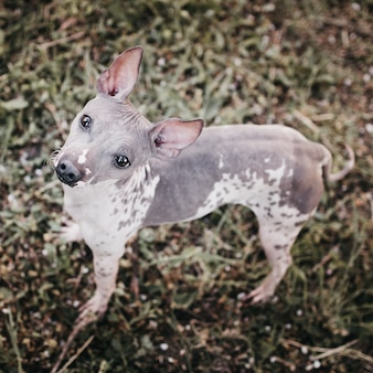 ハリレスアメリカンテリア犬は草の上に立って見上げる