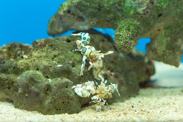 Harlequin shrimp, painted shrimp, clown shrimp, dancing shrimp