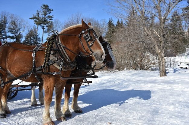 Harnessed draft horses in a winter wonderland