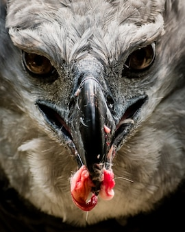 Harpy eagle hunting