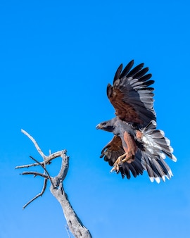Harris hawk coming in for a landing isolated on blue sky