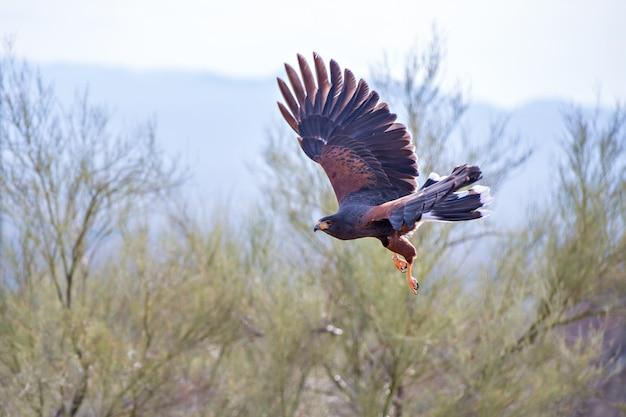Harris hawk in flight across the arizona southwest desert